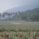 aloe-fields-on-hazy-day
