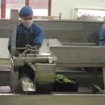 aloe-processing